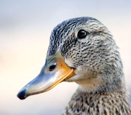 mallard: Mallard Duck - female