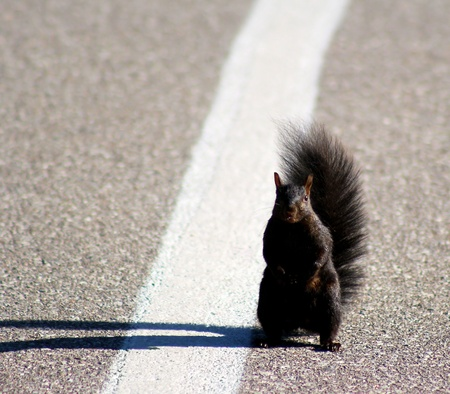 black squirrel: Squirrel standing in the middle of the road - hitching a ride?