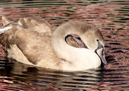 Young Adult Mute Swan photo