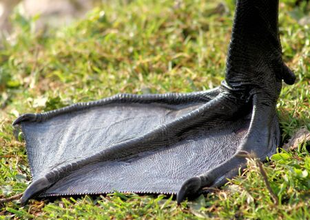 webbed foot: Webbed Foot Of A Trumpeter Swan - 6 12  - 7 inches wide