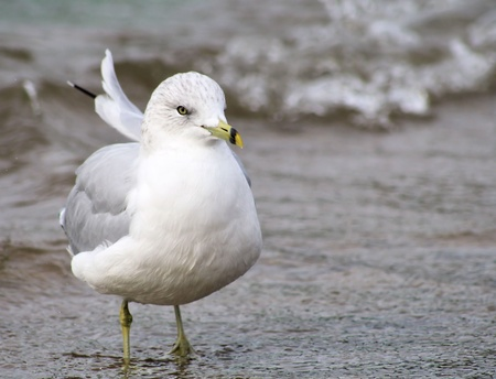 ruffling: Seagull On Beach - feathers ruffling in the breeze Stock Photo