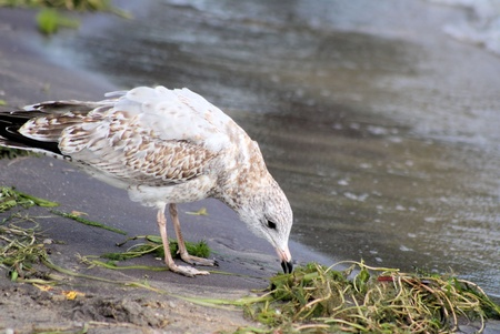 has been: Seagull going through the seaweed that has been washed up at shore