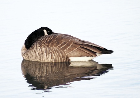 canada goose: Canada Goose having a rest Stock Photo