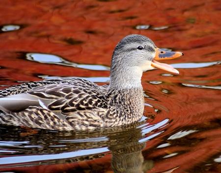 quack: Quack Happy Mallard