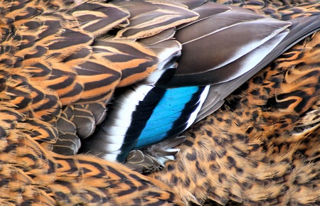 Close Up Of Mallard Duck Feathers