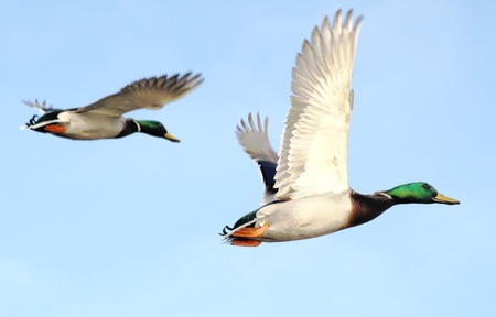 migrating animal: Mallard Ducks In Flight
