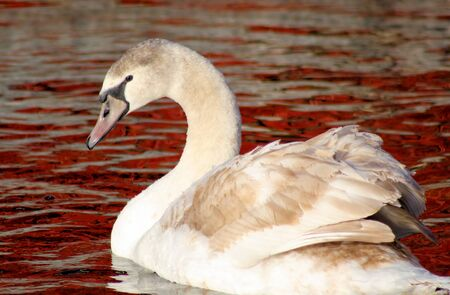 Young Mute Swan - approximatey 7 months old photo