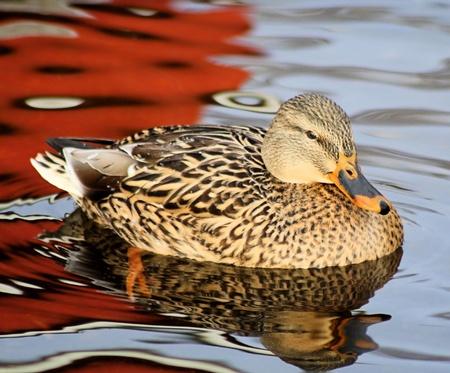mallard: Mallard DuckFemale El Agua Bella Foto de archivo