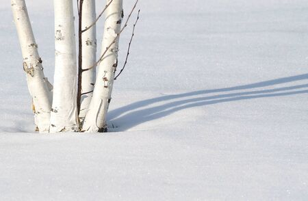 shadow: Birch Tree In Snow