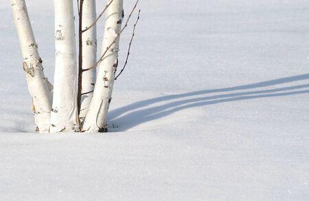 birch tree: Birch Tree In Snow