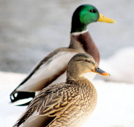 female mallard duck: Mallard Ducks - male and female.  Standing on snow covered hill, lake in background Stock Photo