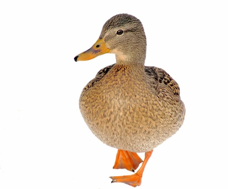 Mallard Duck Female Isolated On White Background photo