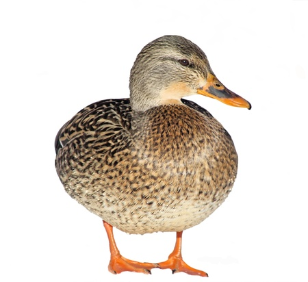 Mallard Duck Female - isolated on white background photo