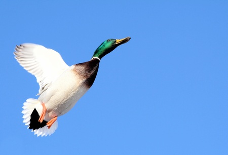 Beautiful Mallard Duck In Flight - against a bright blue sky Stock Photo