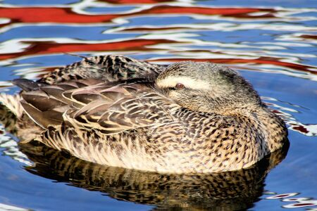 Mallard duck female rests as she floats along beautiful coloured waters photo