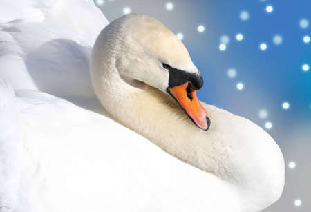 mute swan: Beautiful Swan - abstract falling snow background Stock Photo