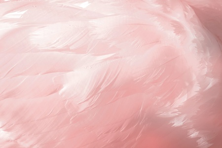 swans: Pink Feathers - actual Swan feathers with added colour Stock Photo