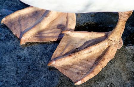 bird feet: Webbed Feet Of An Adult Mute Swan Stock Photo
