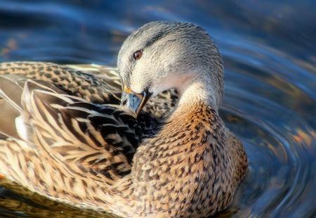 preen: Mallard Duck Female Preening Her Feathers Stock Photo
