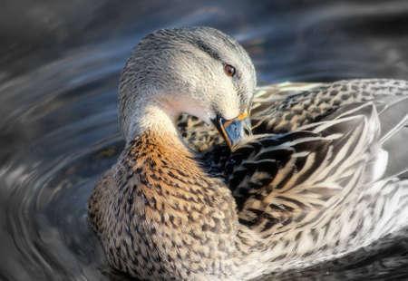 mallard: Pato Mallard Preening sus plumas - con decoloración