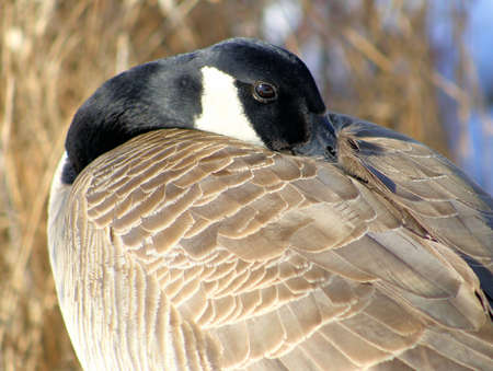 canada goose: Canada Goose - nestling beak into feathers while resting