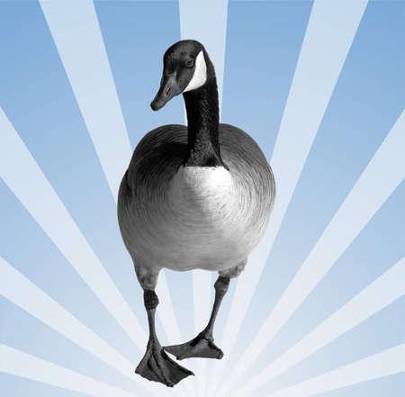 canada goose: Canada Goose - isolated on fun retro background