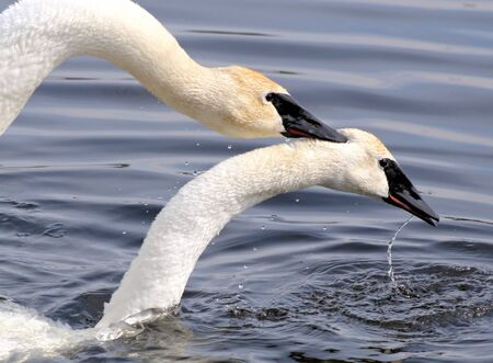Trumpeter Swans Mating Stock Photo - 12880096