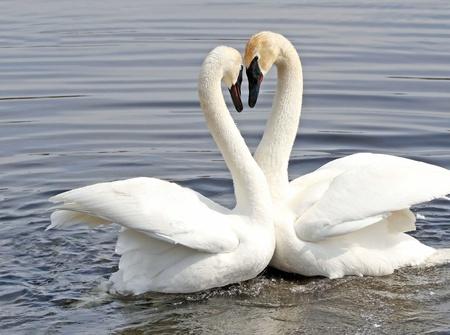 cisnes: La danza de cortejo de dos cisnes trompeteros