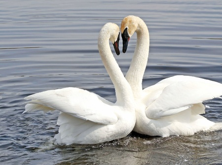 The Courtship Dance Of Two Trumpeter Swans Stock Photo - 12880094