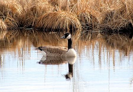canada goose: Canada Goose Swimming At Wetlands Stock Photo