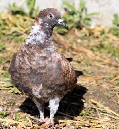 pidgeon: Pigeon