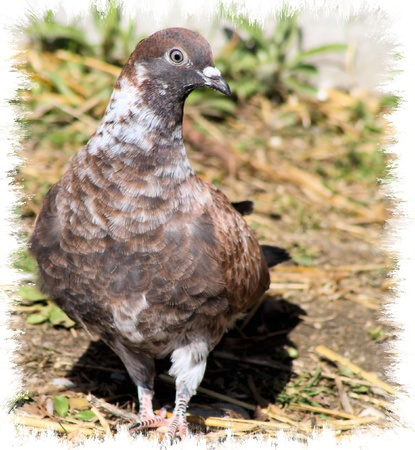 pidgeon: Pigeon - attractive abstract border