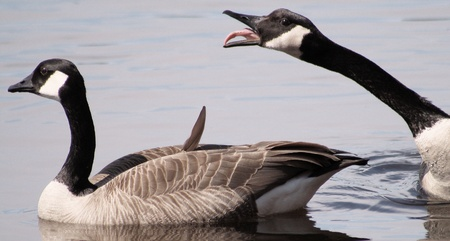 Canada Geese - funny courtship rituals during mating season photo
