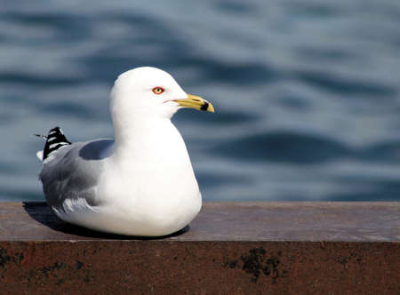 billed: Seagull Resting On Dock - lake in background
