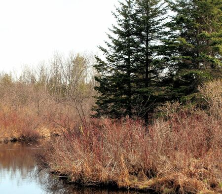 evergreen trees: Evergreen trees and tall marsh grasses surrounding water at wetlands