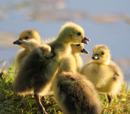 The Storyteller - young gosling with siblings photo