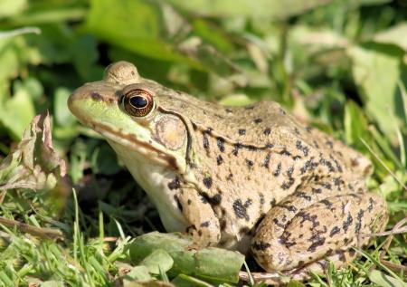 Green Frog Stock Photo - 13816352