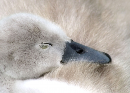 Baby Mute Swan - sleeping contently photo