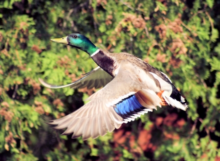 Mallard Duck In Flight photo