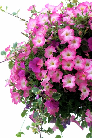 Pretty Pink Petunias Stock Photo - 14167209