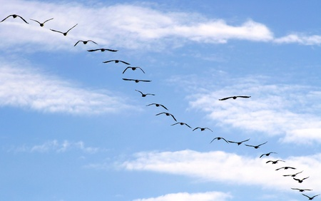 Canada Geese Migration photo