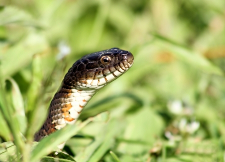 Water Snake Peeking Out Of The Grass