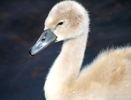 approx: Mute Swan Cygnet -  approx  7 weeks old Stock Photo
