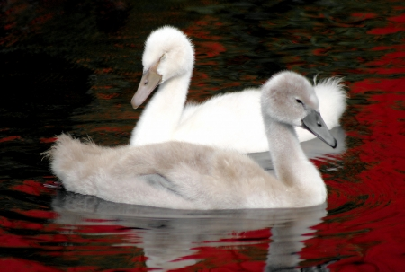 Two Baby Swans - siblings photo