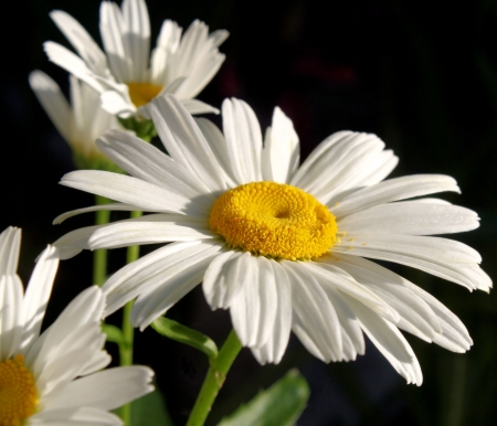 Summer Daisies photo