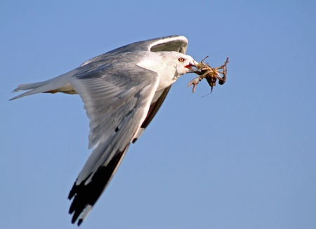 Seagull Flying With A Freshly Caught Crayfish  Stock Photo - 14544379