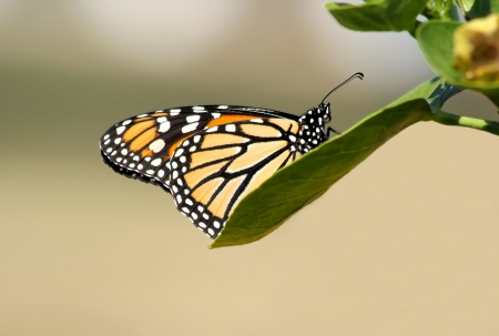 The Monarch Butterfly - resting on a leaf photo