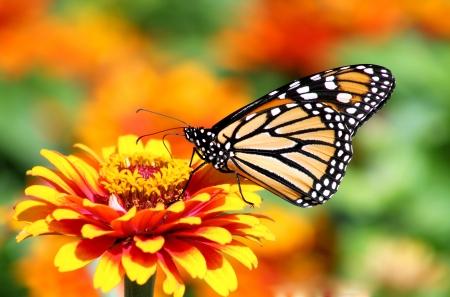 Papillon monarque dans le jardin de fleurs