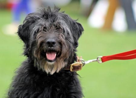 Shaggy Dog  photo
