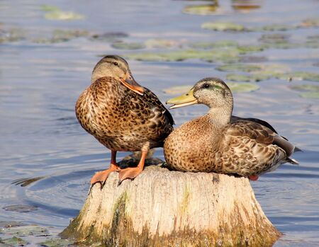 The Talking Ducks - two ducks carrying on a conservation amongst themselves